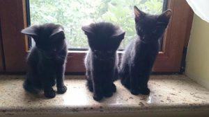 pisici adoptie