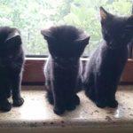 Pisici pentru adoptie